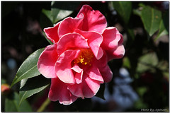 (Spencer Hsieh & Voicechien) Tags: plum taiwan   prunus  nantou   rosaceae   prunuscampanulata  hsinyi  camelliajaponica   prunusmume prunusincisa   21  friendlyflickr      tsaopintou  prunussalicinalindley