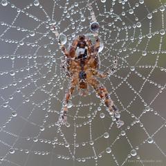 Spider and dew (Kees Waterlander) Tags: macro nederland peat veen moor bog arthropoda drenthe moorland arthropod kruisspin bargerveen theneterlands geleedpotigen hoogveen