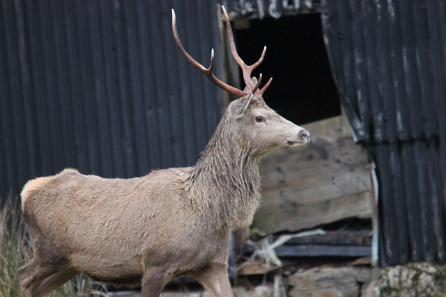 Glen Cannich Stag by Campbells Castle