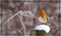 ~A Winter's Day~ (Eddie The Bugman) Tags: nottingham robin erithacusrubecula attenborough naturereserve canon400mmf56l nottswildlifetrust canoneos5dmkii