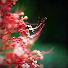 (David Panevin) Tags: flowers red plants flower green nature bokeh australia olympus queensland e3 cairns simple botanicalgarden nokton voigtlnder bokehlicious voigtlandernokton58mmf14slii davidpanevin