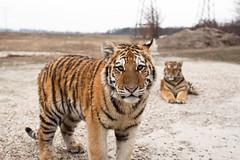 Mláďatá sibírskeho tigra (pxls.jpg) Tags: nature animals ef28mmf18 canon50d highqualityanimals