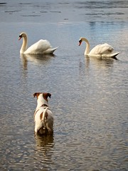 You didn't happen to see my ball, did you? (Dan:Brown) Tags: dog water swan pond jackrussell s90