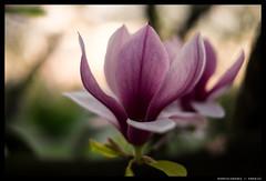 Magnolia (mkniebes) Tags: flower tree bokeh magnolia tulipmagnolia magnolia×soulangeana fujinonxf3514