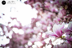 magnolia (ZB PHOTO ART GALLERY ☆) Tags: pink flowers sunset white flower spring interesting bokeh magnolia dreamy addict 50mm18