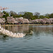 Cherry Blossoms at Tidal Basin 2014 6.jpg