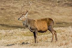 JWL7420 Red Deer...... (jefflack Wildlife&Nature) Tags: animal animals forest mammal scotland countryside highlands stag wildlife deer deers reddeer