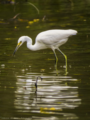 """""""Pescador solitario - Reflejos"""" - """"Lone Fisherman - Reflections"""" (marcos.h_alvarez) Tags: pescador reflejos lagunadelospadres garcillablanca"""