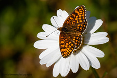 Heath Fritillary (ABPhotosUK) Tags: macro animals canon wildlife butterflies lepidoptera devon nocrop invertebrates nymphalidae heathfritillary melitaeaathalia ef25mmextensiontube eos7dmarkii butterflyconservationreserves lydfordoldrailway ef100400mmisii