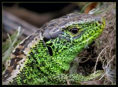 meine kleinen Freunde im Garten (karin_b1966) Tags: nature animal garden natur garten tier amphibie 2016 amphibia garteneidechse yourbestoftoday gardenlizzard