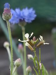 (nofrills) Tags: flowers blue plants white plant flower green floral whiteflower flora cornflower rucola blueflower whiteflowers blueflowers   whiteandgreen