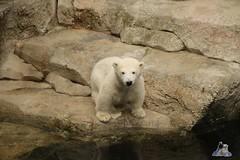 Eisbr Lili im Zoo Bremerhaven 30.04.2016 Tei 1  114 (Fruehlingsstern) Tags: polarbear lloyd lili bremerhaven zooammeer valeska eisbr seelwen canoneos750 tamron16300