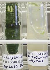 ORNG0369 (David J. Thomas) Tags: culture cave algae microbiology slant agar cyanobacteria phycology lyoncollege bg11 photobiont phycobiont