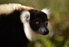 Sifaka, Madagascar (Rod Waddington) Tags: africa wild portrait colour animal island african afrika madagascar afrique malagasy sifaka