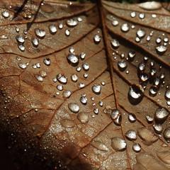 gefangenes Herbstlicht (honiigsonne) Tags: autumn light brown macro nature water leaves garden licht leaf drops maple wasser outdoor herbst natur surface drop dew tau makro blatt morgen garten tropfen twop oberflche ahorn