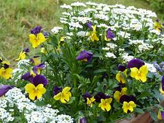 Iberis, Viola and Alyssum P1020669 (LesD's pics) Tags: flowers blossom blooms viola alyssum iberis