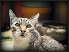 Mi nio  hemocho (MaPeV) Tags: cats canon chats chat tabby kitty gatos powershot gato kawaii neko katze morris gatti felin gattoni gattini g16 tabbyspoted bellolindoguapetn
