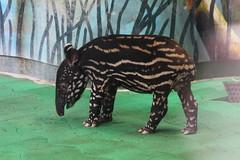 Baby tapir (* Yumi *) Tags: baby animal zoo tapir