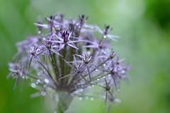 Allium after the rain (myu-myu) Tags: plant flower nature rain japan nikon mygarden allium  d800  alliumchristophii