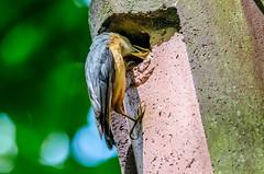 Nuthatch Feeding Its Chicks (sitta europaea) (phat5toe) Tags: nature birds nikon nest feeding wildlife feathers chicks nuthatch penningtonflash avian sittaeuropaea wigan greenheart d7000 sigma150500