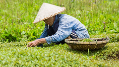 While working (Gigin - NoDigital) Tags: people woman green nature colors grass hat other asia cigar an vietnam clothes hoian geography hoi vn qungnam tphian