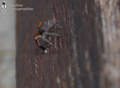 Araigne sauteuse Saitis barbipes (Senalina) Tags: araigne saitis saltique barbipes senalina