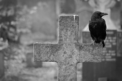 the crow (fuerst) Tags: blackandwhite bw friedhof london grave cross kreuz sw crow grab raven rabe krhe bromptoncemetery schwarzweis canoneos60d
