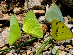 Group meeting of Butterflies (Harinath Ravichandran) Tags: coimbatore attapadi