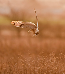 In For The Kill!  (Short Eared Owl) (marsch1962) Tags: light sunset nature birds golden evening hunting claws owls acrobatic agile shortearedowl prestwickcarr thewonderfulworldofbirds nikon300mmf28vrll