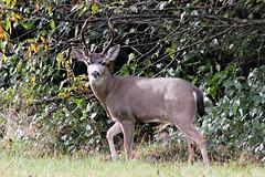 Odocoileus hemionus columbianus Black-tailed Deer (male) (David A. Hofmann) Tags: mammal odocoileushemionuscolumbianus blacktaileddeer delnortecounty california muledeer columbianblacktaileddeer