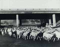 Sheep under United States Highway 101 (ConejoThruTheLens) Tags: sheep thousandoaks conejovalley venturafreeway 101freeway thousandoakslibrary edlawrence unitedstateshighway101 moorparkroad conejothroughthelens