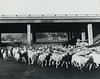 Sheep under United States Highway 101 (ConejoThruTheLens) Tags: sheep thousandoaks conejovalley venturafreeway 101freeway thousandoakslibrary edlawrence unitedstateshighway101 moorparkroad conejothroughthelens