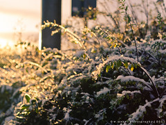 Winter ~ 339|365 (Wan ~stuck in catch up loop) Tags: snow ice leaves sunrise dof bokeh depthoffield braehead day339 nikkor35mmf18 scottishwinter nikond7000 wmekwiphotography mekwicom