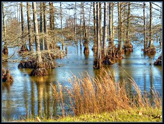 Cypress swamp (Suzanham) Tags: waterscape water lake baldcypress swamp blufflake noxubee cypress fall autumn mississippi
