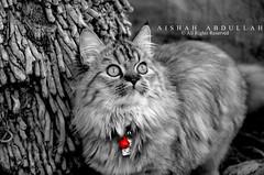 My Cat.. (Aishah Abdullah) Tags: black cat nikon