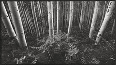 Palladium print - Colorado Aspens (Zach Boumeester) Tags: fern film digital colorado alt arches tokina negative aspens process platinum palladium f28 alternative ohp altprocess platine pictorico platinotype 1116mm d300s