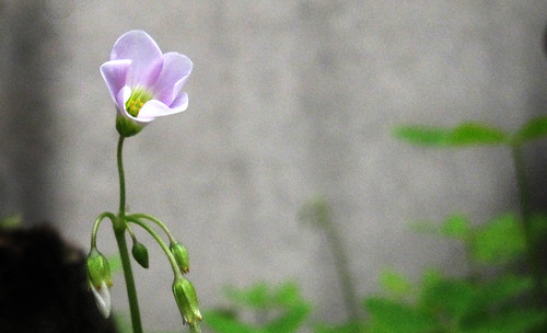"Flor de trebol 01 • <a style=""font-size:0.8em;"" href=""http://www.flickr.com/photos/30735181@N00/6497125845/"" target=""_blank"">View on Flickr</a>"