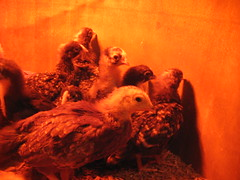 baby chickens! (henna lion) Tags: autumn fall chickens birds animals rock joan poultry chicks dominique fowl livestock barred 2011 barredrock kovatch