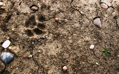 Living Earth (Mason Witzel) Tags: autumn winter cats cold fall rock cat print paw sand rocks track december mud mason tracks soil dirt clay pawprint apparently apparent witzel 365mw