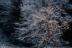 Persimmon in winter * (HarQ Photography) Tags: winter tree japan sony persimon a900 sal2470z bestcapturesaoi