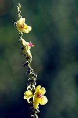 Florecillas silvestres..........feliz quinta flower. (Victoria.....a secas.) Tags: bokeh explore fqf verbasco especieamenazada florecillassilvestres floraandaluza verbascosinuatum