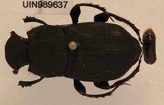 Eurysternus hypocrita Balthasar, 1939 (NHM Beetles and Bugs) Tags: insect ecuador beetle scarab taxonomy:order=coleoptera taxonomy:family=scarabaeidae needsemu taxonomy:genus=eurysternus eurysternushypocrita taxonomy:binomial=eurysternushypocrita 989637