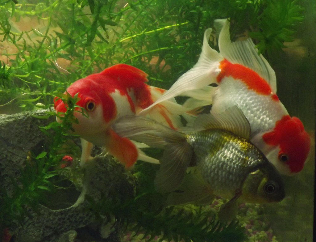 The world 39 s best photos of aquarium and oranda flickr for Fish and pets unlimited