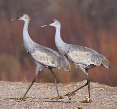Sandhill Cranes (Davor Desancic) Tags: new nature birds del mexico geese apache cranes finch bosque 7d