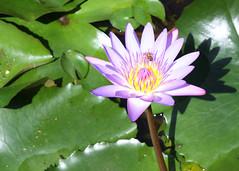 Garden of Eden Flower with Bee (marydenise6) Tags: ocean road trees vacation plants plant flower tree beach garden palms botanical island hawaii purple gardenofeden maui palm bee hana hawaiian tropical eden roadtohana