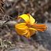 Un bel fiore giallo del Canyon del Colca