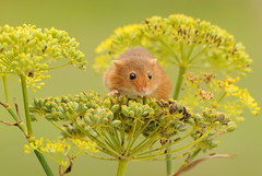 Harvest mouse [Explored] (amylewis.lincs) Tags: macro nature animal mammal rodent nikon britain wildlife sigma british 180mm 2011 micromysminutus d3000