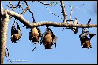 1889 flying foxes -Fruit bats -