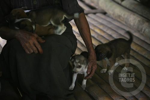 breeding puppies-Sumba_201113310