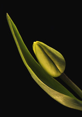 (mauspray) Tags: lighting light italy stilllife flower macro verde green nikon general tulip myhouse fiore luce tulipa abruzzo tulipano casamia montesilvano d300 zf2 distagont2825
